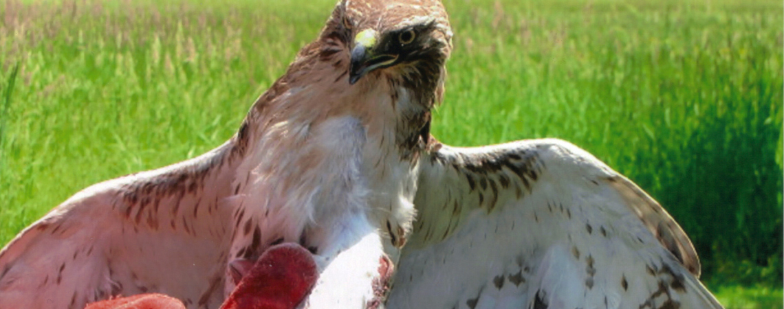 Coopers Hawk Overcomes Cuts, Eye Injury
