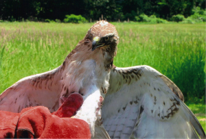 Red tailed hawk gets ready
