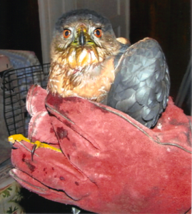 (Another hawk brought back to health by H.O.W.L. CT)